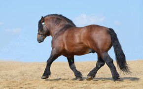 Picture field, the sky, horse, power, blue, horse, stallion, power, running, walk, breed, horse, horsepower