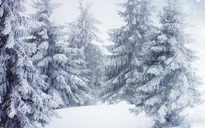 Wallpaper Nature, Winter, Trees, Snow, Spruce
