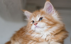 Picture red, kitty, Maine Coon