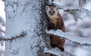 Picture marten, snow, branches, tree, animal