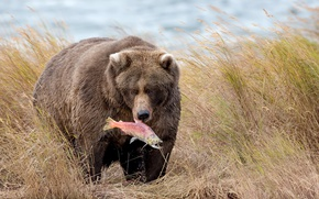 Wallpaper nature, fish, bear