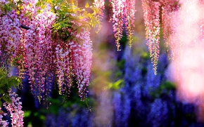 Picture branches, flowering, bunches, Wisteria
