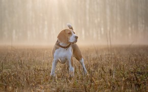 Wallpaper Beagle, fog, dog