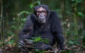 Picture nature, monkey, Chimpanzee