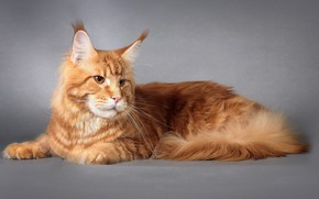 Picture Cat, Cat, Maine Coon