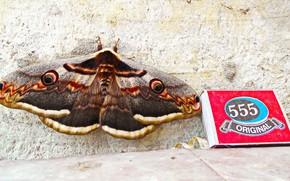 Picture butterfly, Crimea, peacock, Emperor moth, Saturnia pear, moth, Saturnia pyri
