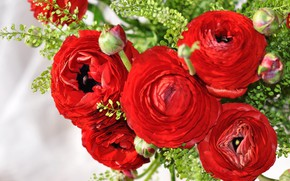 Picture flowers, red, bouquet, buds, Ranunculus, Asian Buttercup