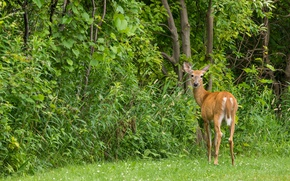 Picture nature, forest, mammal, European ROE deer