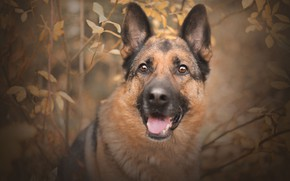 Picture autumn, look, face, branches, portrait, dog, shepherd