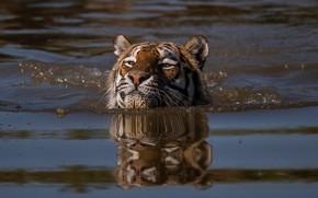 Picture face, water, tiger, swim, head, swimmer, wild cat