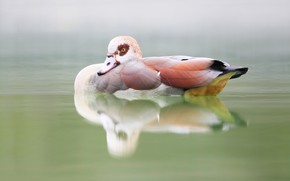 Picture nature, lake, bird, duck