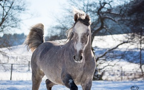 Picture face, grey, horse, horse, posing, (с) Oliver Seitz