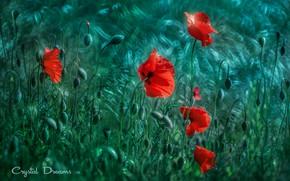 Picture greens, field, Maki, Tatiana Krylova