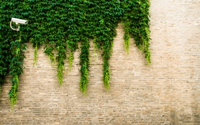 Picture greens, leaves, the city, wall, street, minimalism, texture, camera, eel, plaster, brick wall, ivy, surveillance, ...