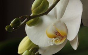 Picture Flowers, Orchid, Orchid