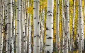 Picture trees, Colorado, USA, aspen