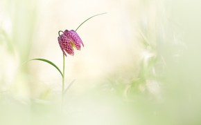 Picture flower, background, spring, chess grouse