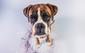 Picture look, face, background, dog, boxer