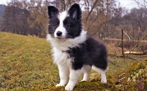 Picture nature, dog, puppy, sheltie, Shetland Sheepdog