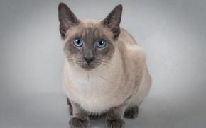 Picture cat, look, background, portrait, blue eyes, cat, The Thai cat