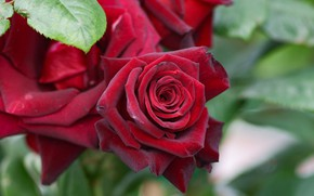 Picture flowers, rose, Bush, red, red, buds, roses