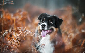 Picture language, dog, bokeh, Australian shepherd, Aussie