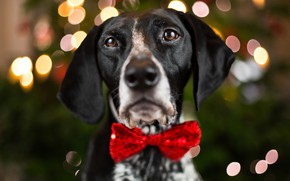 Picture eyes, look, face, close-up, background, holiday, new year, portrait, dog, blur, lights, nose, ears, bow, ...