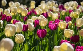 Wallpaper flowers, tulips, buds, a lot