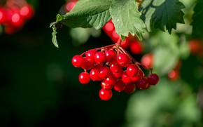 Picture macro, berries, Kalina