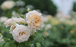 Picture summer, flowers, nature, the city, roses, flowerbed