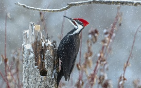 Picture snow, bird, stump, branch, woodpecker