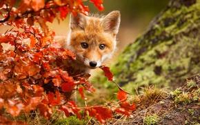 Wallpaper autumn, foliage, Fox, Fox, Fox