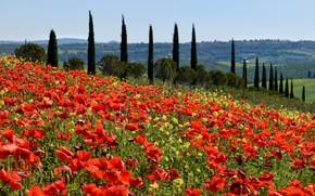 Picture field, Maki, meadow, Italy, poplar