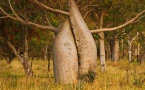 Picture tree, Australia, Kimberly, adansonia Gregory, boob