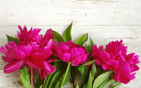 Picture pink, wood, pink, flowers, beautiful, peonies, peony