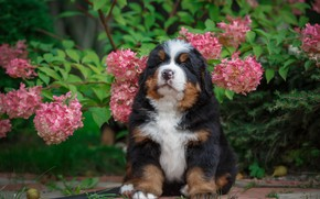 Picture flowers, nature, puppy, hydrangea