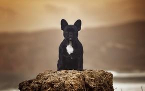 Picture background, portrait, dog, French bulldog