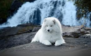 Picture nature, waterfall, dog, Samoyed