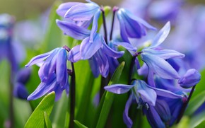 Picture macro, flowers, nature, tenderness, beauty, plants, spring, stamens, primroses, blue color, Scilla, cottage, flora