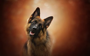 Picture look, face, background, dog, German shepherd