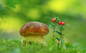 Picture mushroom, moss, cranberries, Borovik