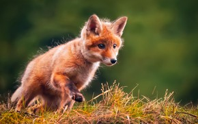 Picture grass, background, Fox, Fox, Fox
