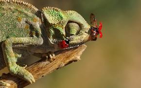 Picture insects, chameleon, lizard, ladybugs, bitch, Mustafa Öztürk
