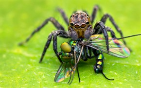 Picture macro, background, food, spider, predator, insect, green background, dumb-dumb, jumper, the Hoppy