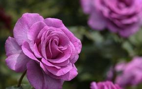 Wallpaper pink, roses, the rose Bush, flowers