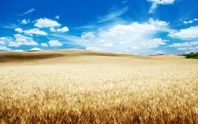 Picture wheat, field, clouds, nature, blue sky