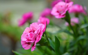 Picture Bokeh, Clove, Pink flowers, Carnations, Pink flowers