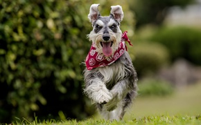 Picture language, joy, dog, running, walk, bandana, bokeh, The miniature Schnauzer