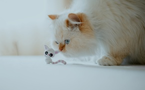 Picture cat, fluffy, kitty, Himalayan cat