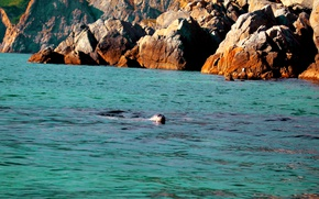 Picture sea, animals, marine life, turquoise, Primorye, Navy seals, turquoise sea, seals, pagai